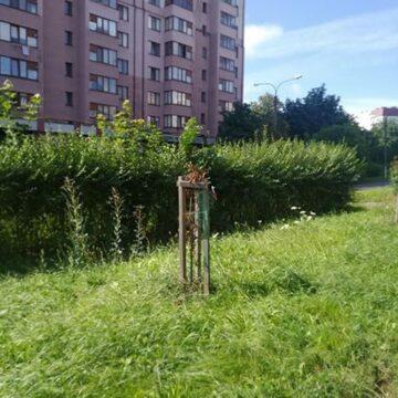 Вандалізм: у Івано-Франківську невідомі скалічили молоді каштани