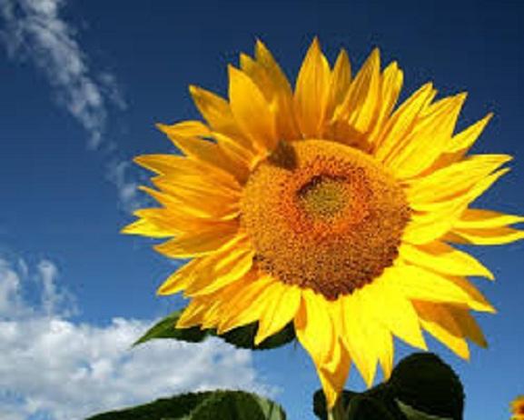 Символом Дня пам'яті захисників України стане соняшник