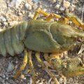 З першого грудня на Прикарпатті заборонено ловити раків