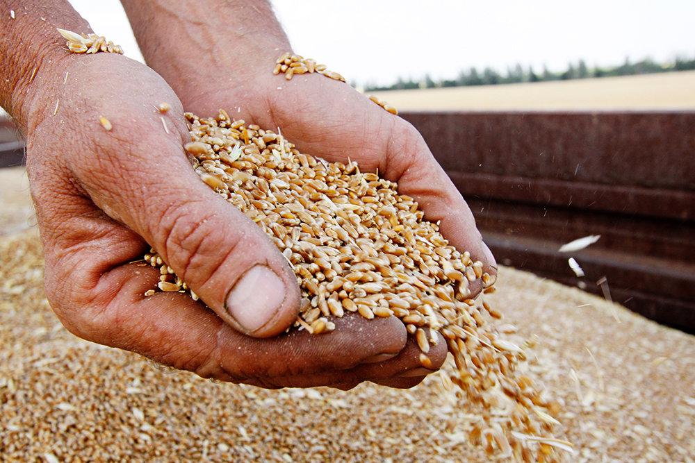 Зерно поїхало в Китай: колишнього заготівельника хліба підозрюють у збитках  на мільйони гривень - Західний кур'єр