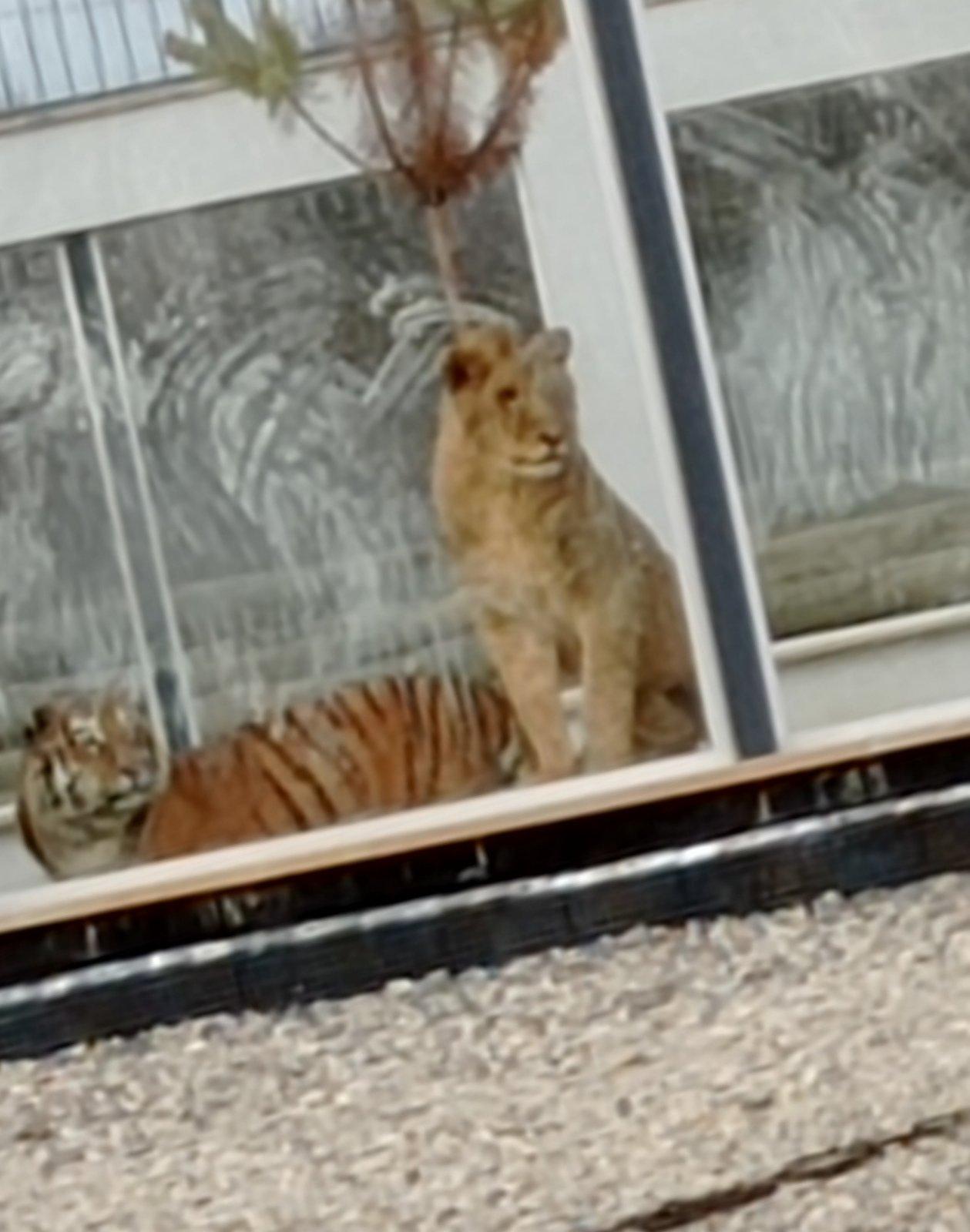 В парку розваг на Прикарпатті поселили левів та тигра ФОТОРЕПОРТАЖ