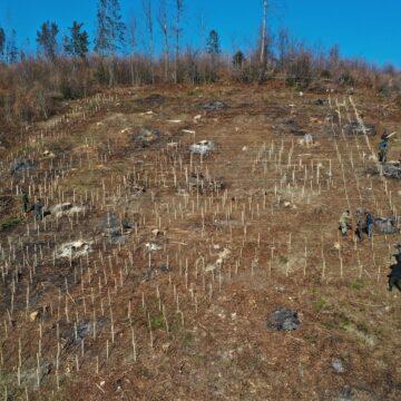 Герб у лісі: на Делятинщині висадили дерева у формі тризуба
